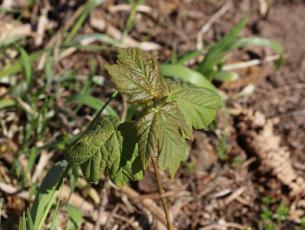 Junge Ahornpflanze, Setzling
